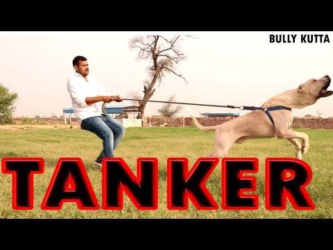 TANKER BULLY KUTTA BULLY DOG