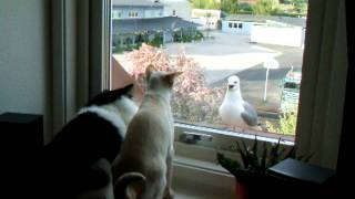 angry seagull trying to attack my cats through a window