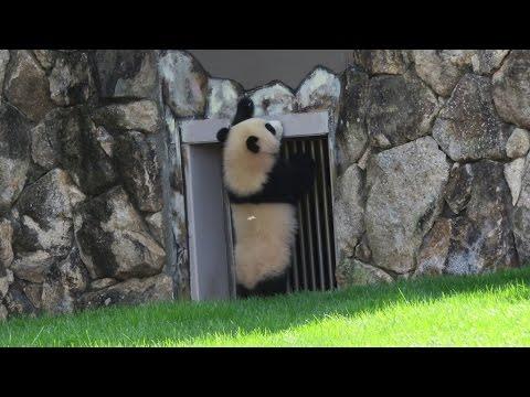 お母さんパンダ良浜が出てくることを心待ちにしている結浜♪ Yuihin, waiting for mother panda Rauhin♪