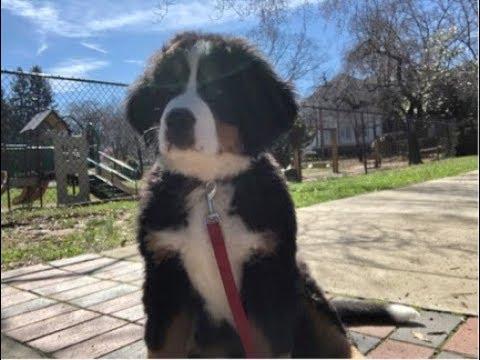 Bernese Mountain Dog Pup  Kayla