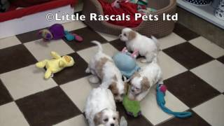 Little Rascals Uk Breeders New Litter Of Cavachons