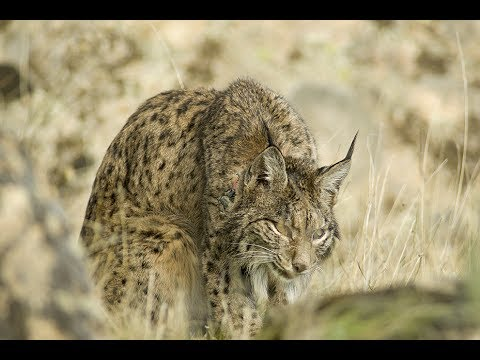 A day in the life. Iberian Lynx at dusk