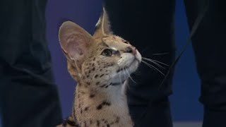 Jumping Serval Cat: Earth Ranger Meghan and Sammy visit Daily Planet