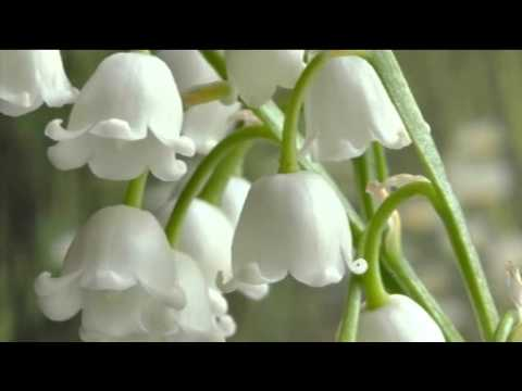 25pk Lily Of The Valley Pips Youtube