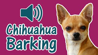Chihuahua Dog Barking [ Sound Effect of 3 Angry Dogs ]