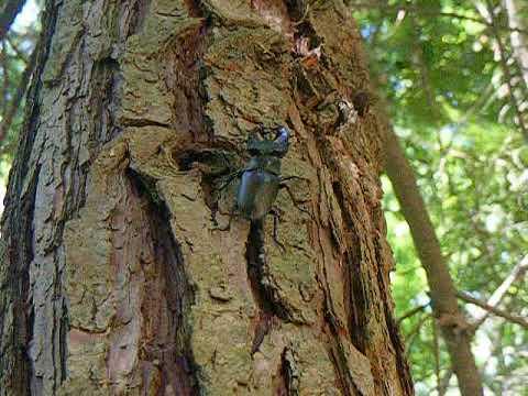Mata do Fontelo - Lacanus cervus