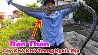 Kẻ Thống Trị Nghĩa Địa Rắn Hổ Mang Trâu Già Bị Sa Lưới Catching King Cobra