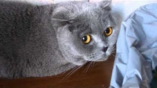 Кошки чувствуют себя виноватыми -2 :) Cute naughty cats feel guilty