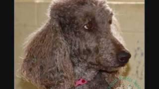 Choose Me -- Carolina Poodle Rescue