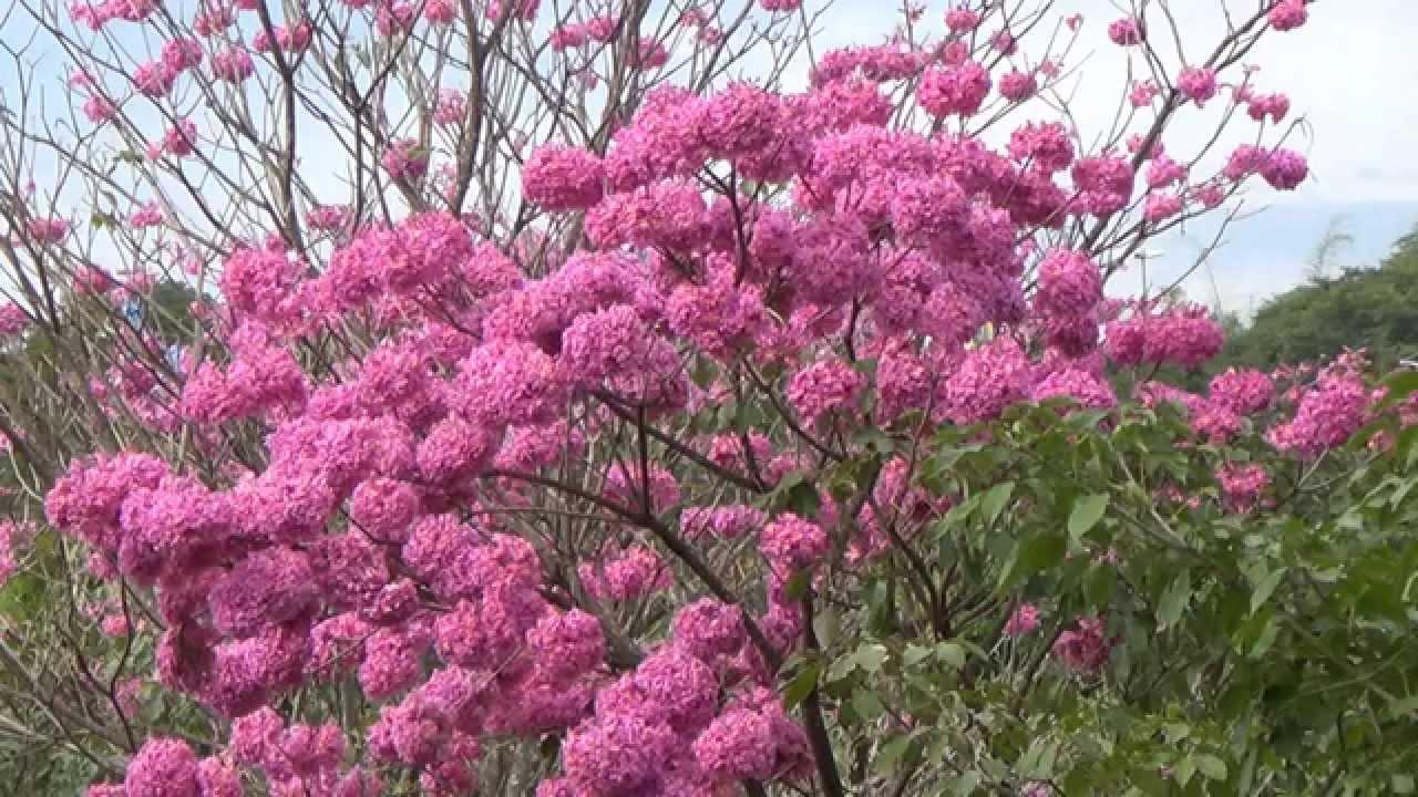 Flowering Trees Tabebuia Impetiginosa Winter Flowers Brazilian
