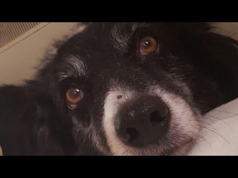 dogs life #bordercollie #sheepdog #pets #memories