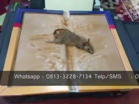 Lem Tikus grosir dan eceran, super lengket tanpa racun dan tanpa bau