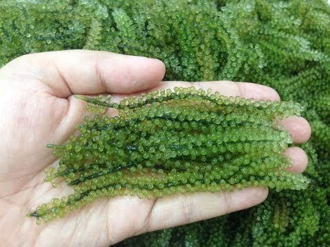 How To Prepare Sea Grapes Seaweed (Green Caviar)