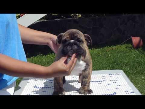 Big Papi Bulldogs - Bigpapibull Ebony