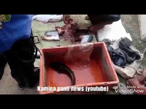 Fish cutting video.                ( Kamina panti news)