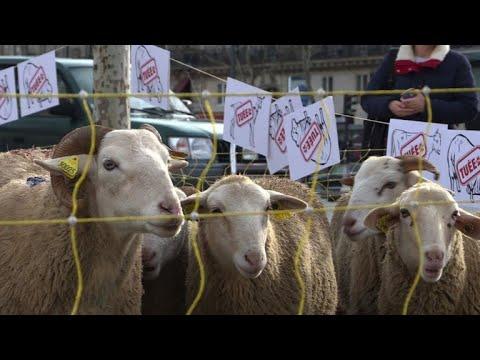 AFP: Pour dénoncer les attaques des loups, les brebis montent à Paris