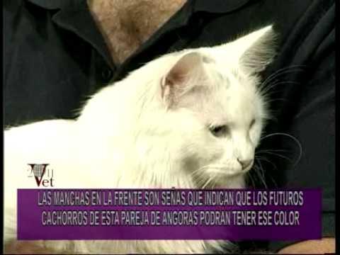 PORTESE BIEN, SEA ANIMAL -- Raza Angora: el gato de la familia