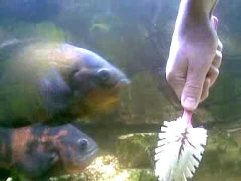 Angry Oscar Fish