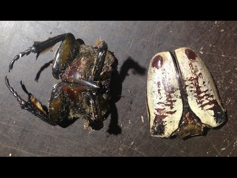 Goliathus goliatus - Are they cannibalistic? - the answer