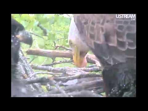 Decorah Eagles Wings, Fish & Tail Shimmy 5-18-11 Decorah