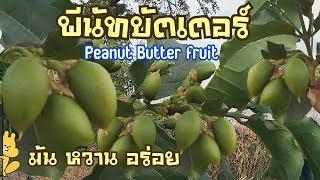 พีนัทบัตเตอร์ Peanut Butter Fruit ลูกเนยถั่ว : เกษตรผสมผสาร EP.34