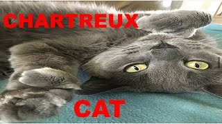 The chartreux cat everything you need to know before buying it ( 8 facts )