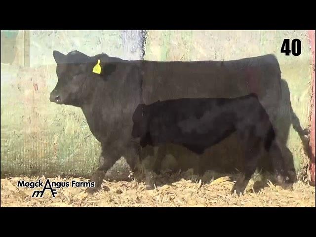 Mogck Angus Farms Lot 40