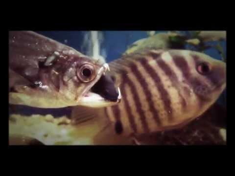 Vampire Fish Eating 18+