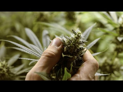 Big Money to be Made in the Cannabis Industry, According to Experts
