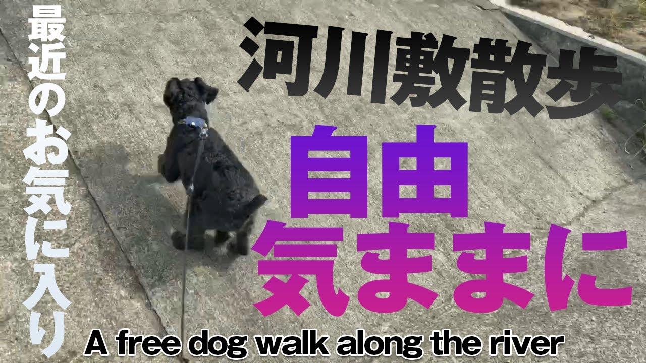 河川敷の散歩は自由気ままなミニチュアシュナウザー A free miniature schnauzer for a walk along the river
