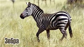 Животные Африки/Как говорят животные Африки/Animals Of Africa