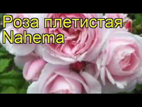 Роза плетистая наэма (Nahema). Краткий обзор, описание характеристик, где купить саженцы