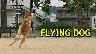 飛ぶ柴犬!? 弾むボールに立ち向かう柴犬の雄姿、珍プレー好プレー集