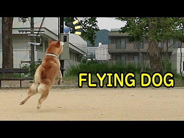 柴犬小春 【Flying Dog】珍プレー・好プレー特集w弾むボールに立ち向かう柴犬!Shiba VS Bouncing Ball