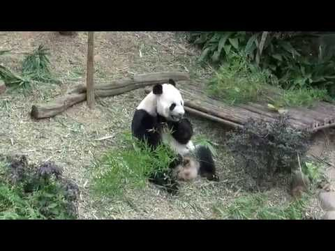 Singapore River Safari; cute Giant Panda's eating
