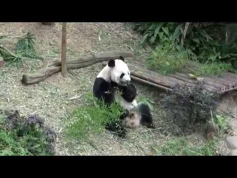 Singapore River Safari; cute Giant Panda's eating