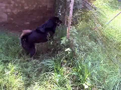 pakhwal jhelum bakarwal dog of ch=waqas