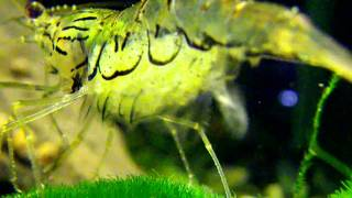 видео Индийская стеклянная креветка