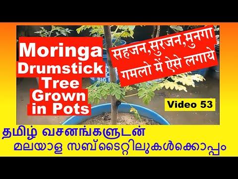 Moringa Oleifera Drumstick Tree Growing Cuttings in Pots