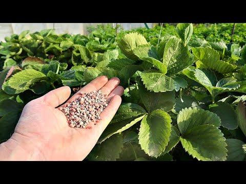 Раскидайте это удобрение по клубнике в октябре ведь не сложно а ягод следующего года будет пропасть!