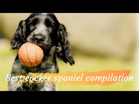 Cocker spaniel funny compilation | Puppies Tales