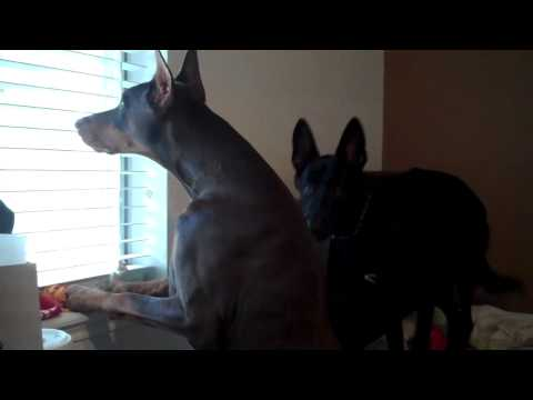 Doberman On Guard