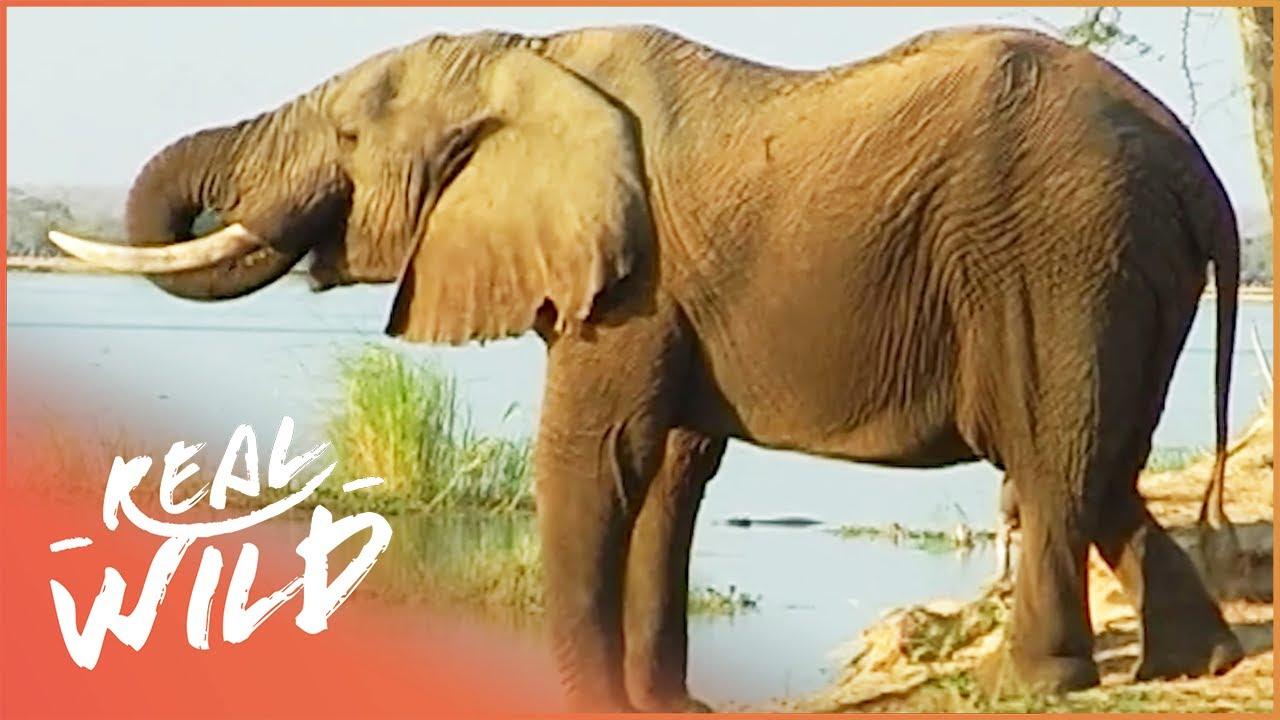 The Elephant That Changed Africa (Wildlife Documentary)   Big Boy   Real Wild