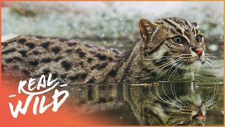 The Elusive Fishing Cat Near Death (Wildlife Documentary) | On The Brink S1 EP4 | Real Wild