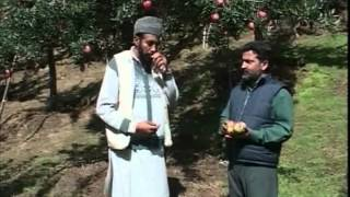 Apples of Kashmir
