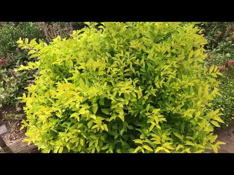 Plant Review: Duranta Erecta 'Cuban Gold', A Fantastic Container Plant With Golden Foliage.