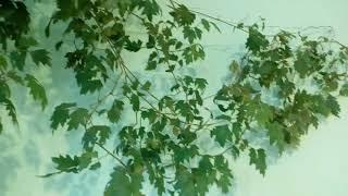бугенвиллия и Цыссус ромболистный 2017  # комнатные цветы # цыссус# бугенвиллия