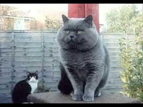 Gros Chat Du Monde le plus gros chat du monde! - youtube