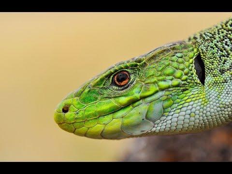 lagarto-ocelado-(timon-lepidus)-sierra-de-guadarrama.-ocellated-lizard.