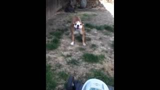 My English Bulldog Fiona Barking At The Lawn Mower